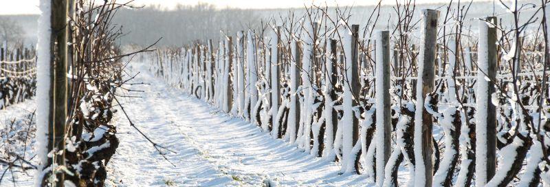 cognac-vineyard-winter