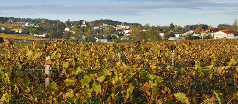 cognac-vineyard