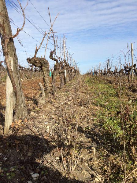 prunier-vines-winter